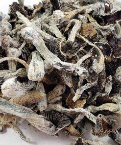 brazilian cubensis mushrooms