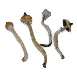 Ecuadorian Mushroom